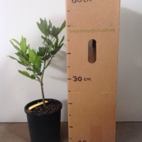 Bay Tree For Sale (Size: Large)  (Cutting Grown)
