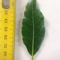 Leaf of the Bay Tree