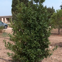 Bay Tree or Laurus nobilis