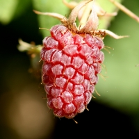Loganberry Perfectly ripe. It wasn't there a few moments later By Andy Andrew Fogg [CC BY 2.0 (https://creativecommons.org/licenses/by/2.0/)] via Flickr https://flic.kr/p/hWffh