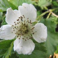 Youngberry Flower