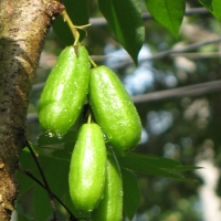 Averrhoa bilimbi fruit on Tree By Sugeesh at ml.wikipedia [CC BY-SA 3.0 (https://creativecommons.org/licenses/by-sa/3.0) or GFDL (http://www.gnu.org/copyleft/fdl.html)] via Wikimedia Commons
