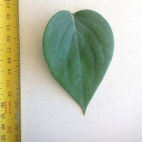 Leaf of the Black Pepper