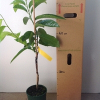 Black Sapote - Mossman For Sale (Size: Large)  (Grafted)