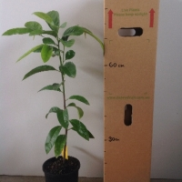 Black Sapote Seedling For Sale 165mm pot