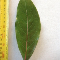 Leaf of the Black Walnut Endriandra globosa