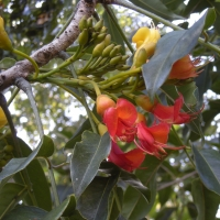 Castanospermum australe in flower compliments of wikipedia