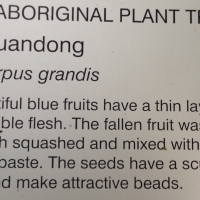 blue quandong Picture from  Botanical Gardens Brisbane Mount Coot-tha
