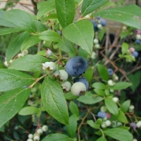 Blueberry Blue Rose Vaccinium corymbosum By Sten [CC BY-SA 3.0 (https://creativecommons.org/licenses/by-sa/3.0) or GFDL (http://www.gnu.org/copyleft/fdl.html)] via Wikimedia Commons