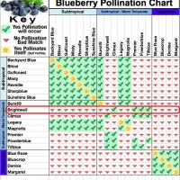 Brightwell Blueberry Pollination Chart