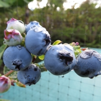 Blueberry fruit Vaccinium hybrid By Forest and Kim Starr [CC BY 2.0 (https://creativecommons.org/licenses/by/2.0/)] via Flickr https://flic.kr/p/YPeLSS