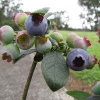 Misty Blueberry Plant Vaccinium hybrid By Forest and [CC BY 2.0 (https://creativecommons.org/licenses/by/2.0/)] via Flickr https://flic.kr/p/DJzWYc