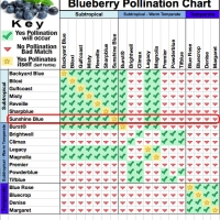 Sunshine Blue Blueberry Pollination chart