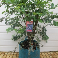 Blueberry plant in bonsai bag By DaleysFruit.com.au [All Rights Reserved]
