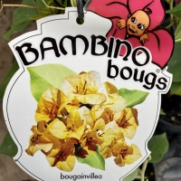 Bougainvillia Bambino Plant Label Plants supplied via PBR from Fitzroy Nurseries part of the Aussie Winners range By Bambino Bougs https://www.bambinobougs.com.au/ [Supplier of DaleysFruit.com.au]
