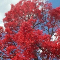 Flame Tree By DaleysFruit.com.au [All Rights Reserved]