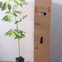 Brown Tamarind For Sale (Size: Medium)  (Grown from Seed)