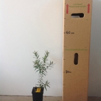 Callistemon Captain Cook  For Sale (Size: Medium)  (Cutting Grown)