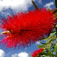 Callistemon general picture By Chesna [CC0 1.0 (https://creativecommons.org/publicdomain/mark/1.0/)]