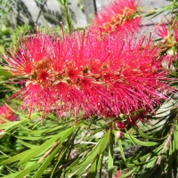 Callistemon Cherry Time Guide only Image: Callistemon By Chilepine at English Wikipedia (Transferred from en.wikipedia to Commons.) [Public domain] via Wikimedia Commons