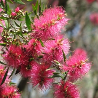 Callistemon Eureka compliments of pinterest