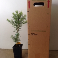 Callistemon - Hannah Ray For Sale (Size: Medium)  (Grown from Seed)