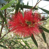 callistemon kings park special compliaments of gardening with angus