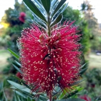 Close up of the flower of the Callistemon little john By DaleysFruit.com.au [All Rights Reserved]