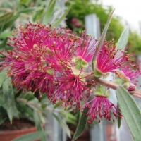 Callistemon Mauve Mist By Leonora (Ellie) Enking [CC BY-SA 2.0 (https://creativecommons.org/licenses/by-sa/2.0/)] via Flickr https://flic.kr/p/9HanUq