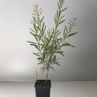 Callistemon - Pink Champagne For Sale (Medium)