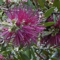 Callistemon purple By A. Barra [GFDL (http://www.gnu.org/copyleft/fdl.html) or CC BY 3.0  (https://creativecommons.org/licenses/by/3.0)], from Wikimedia Commons
