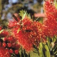 Callistemon red devil Modified from plant tag  By Norwood [All Rights Reserved, Plant Label Supplier of DaleysFruit.com.au]
