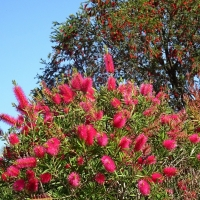 callistemon rose opal compliments of botanical gardnens CA
