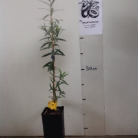 Callistemon Weeping For Sale Super Tube