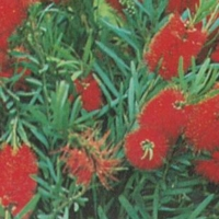 callistemon wildfire Modified from Plant Tag  By Norwood [All Rights Reserved, Plant Label Supplier of DaleysFruit.com.au]