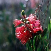 Callistemon Citrinus close up