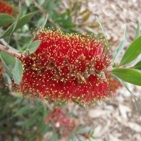Callistemon Pollandii compliments of tropic sphere
