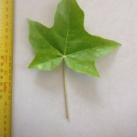 Leaf of the Candle Nut