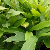 Cardamon Ginger plants By DaleysFruit.com.au [All Rights Reserved]