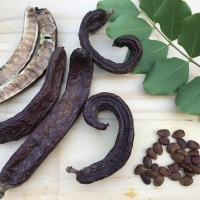 Carob pods arranged with pods seeds and leaf By DaleysFruit.com.au [All Rights Reserved]
