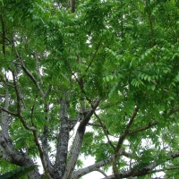 West Indian cedar tree