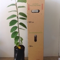 Cherimoya Seedling For Sale 4 litre Bag