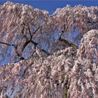 Flowering Pink Weeping Cherry By Ron Cogswell [CC BY 2.0 (https://creativecommons.org/licenses/by/2.0/)] From Flickr https://flic.kr/p/eaPcnA