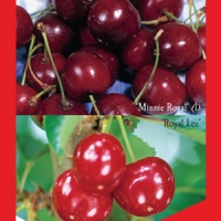 Cherry 2 way - Minnie Royal - Royal Lee