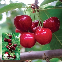 Starkrimson Cherry Fruit Tree By Flemings Nurseries [All Rights Reserved, Supplier of DaleysFruit.com.au]