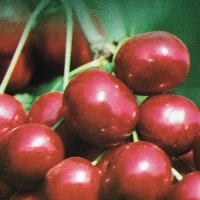 Cherry Sunburst Picture cropped from our supplier image By JFT Nurseries [All Rights Reserved, Supplier of DaleysFruit.com.au]