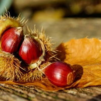 Chestnut April Gold Compliments of Yalca Fruit Trees