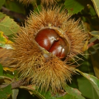 Chestnut Emerald Gem Compliments of Yalca Fruit Trees