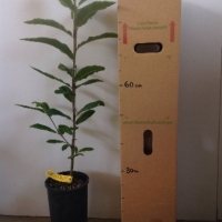 Chestnut - seedling For Sale (Size: Large)  (Grown from Seed)