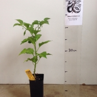 Chilli - Yellow Habanero For Sale (Size: Small)  (Grown from Seed)